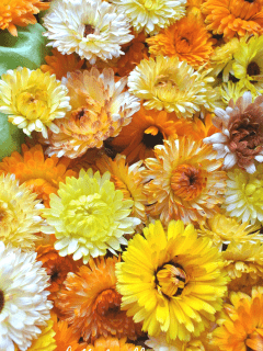 Fresh calendula blossoms.