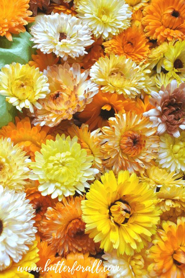 Many fresh calendula blossoms of varying oranges and yellows.