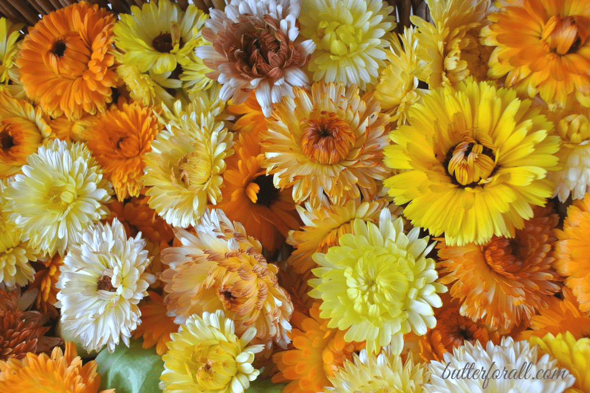 Growing Harvesting And Drying Calendula Flowers