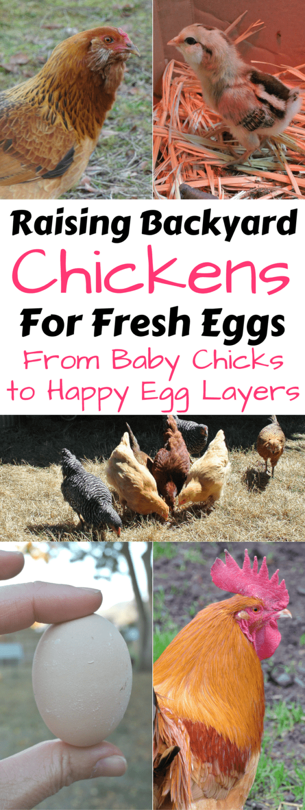 Collage of backyard chickens and an egg with text overlay.