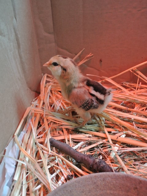 Close up of a chick in a brooder.