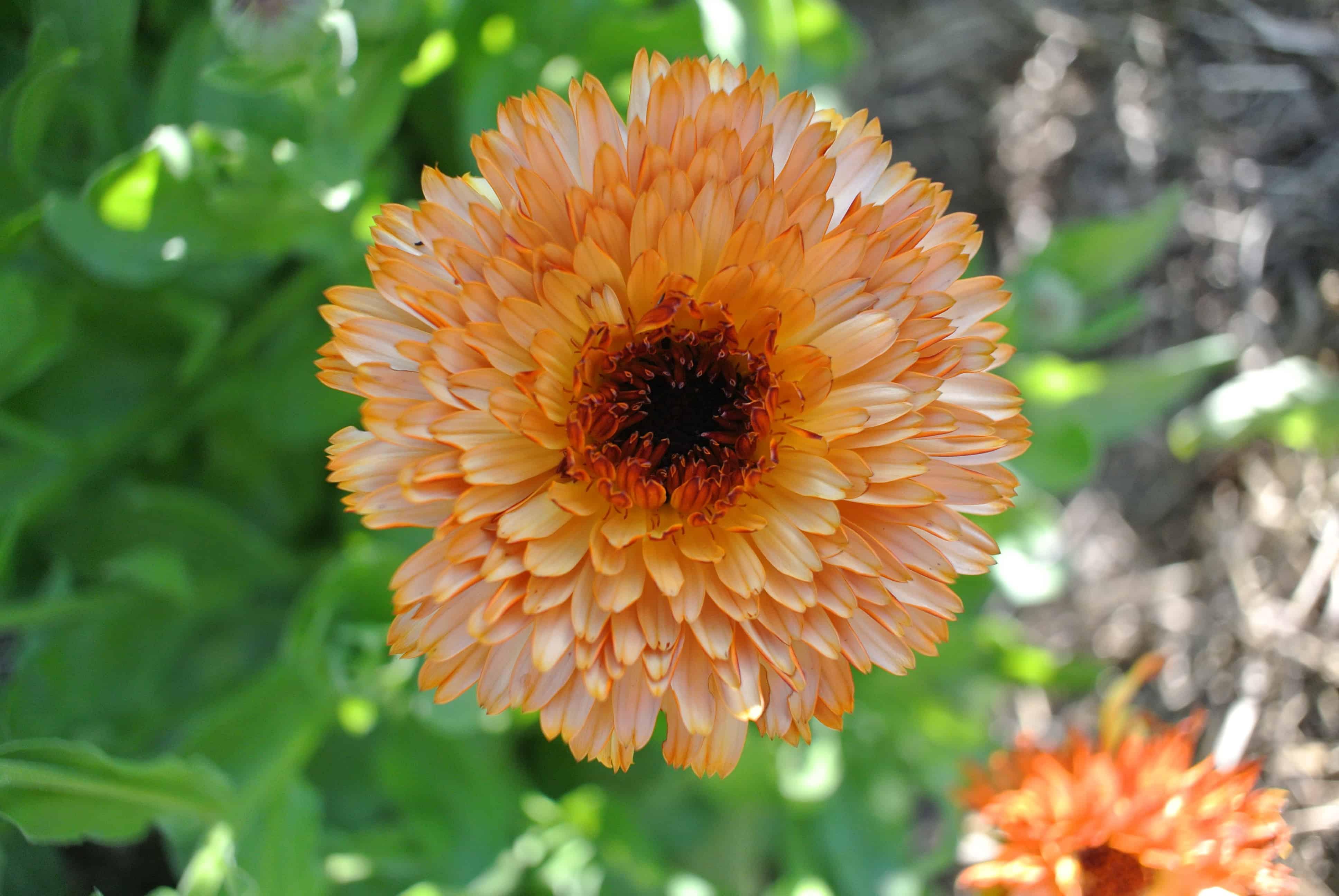One orange calendula flower in full bloom.