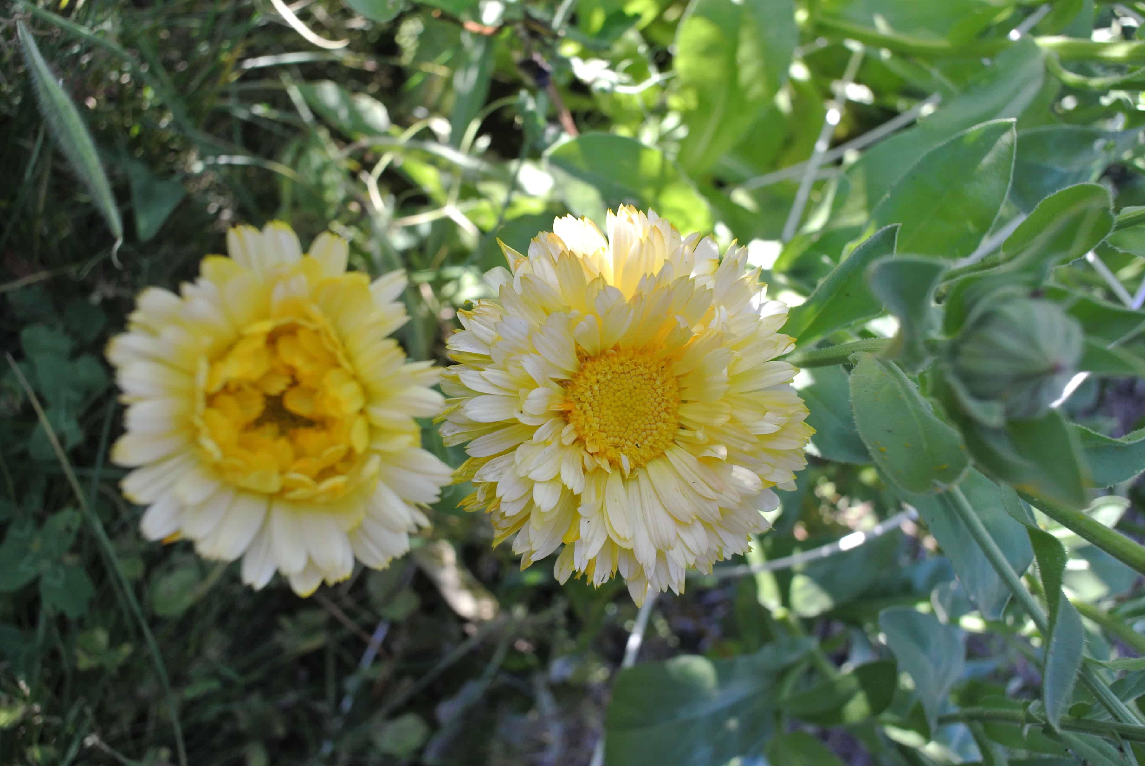 Two yellow calendula flowers in the garden.