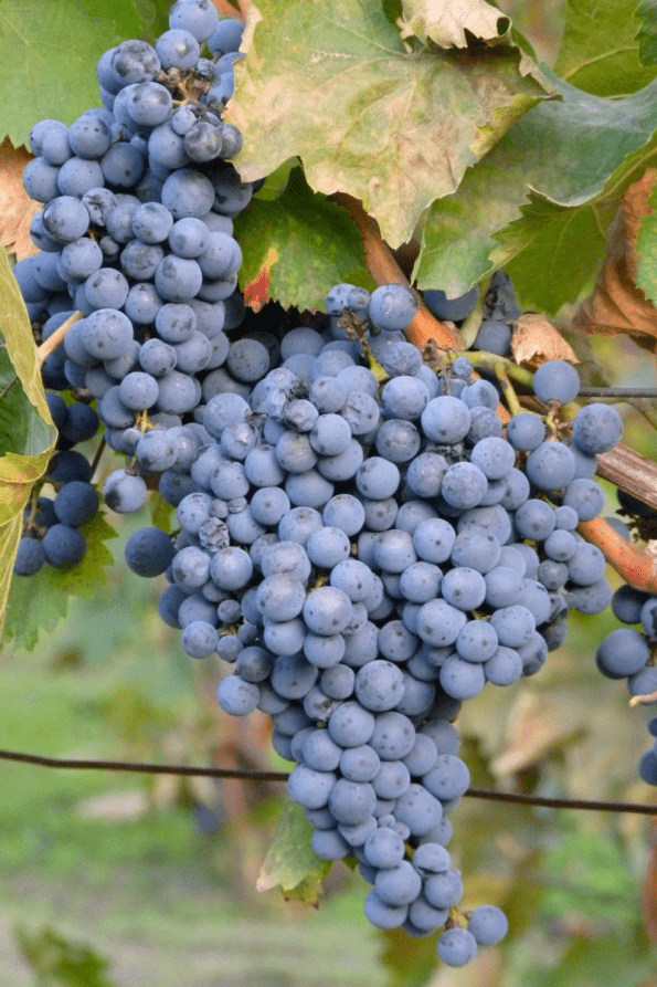Wine grapes with natural yeast bloom.