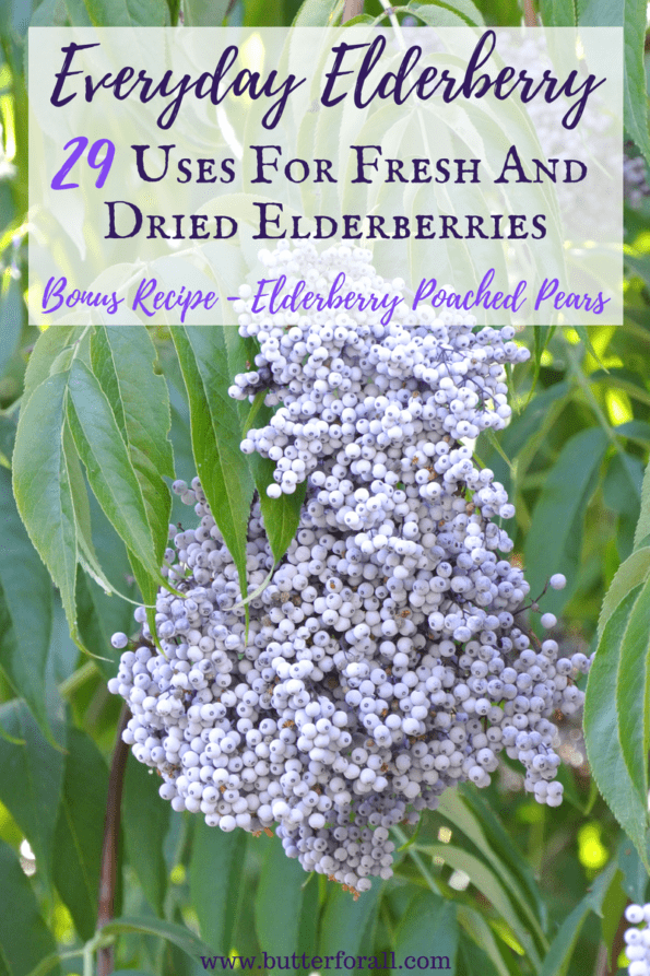 A huge bunch of fresh elderberries just begging to be turned into syrup, wine, pie or jelly!