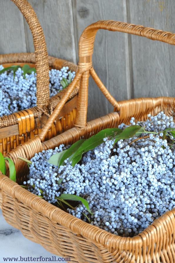 Huge baskets full of ripe elderberries.