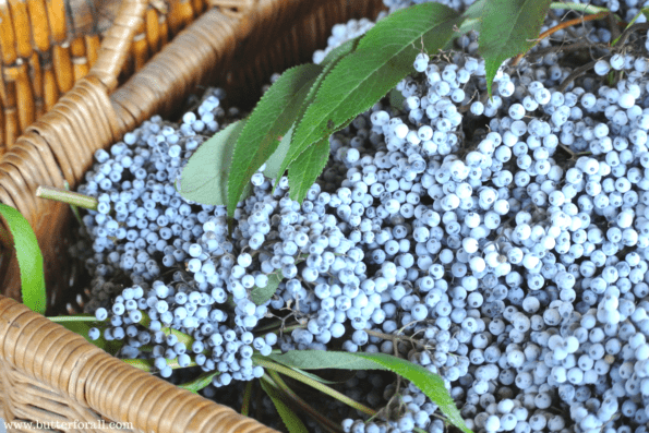 Learn How To Use Freshly Picked Elderberries