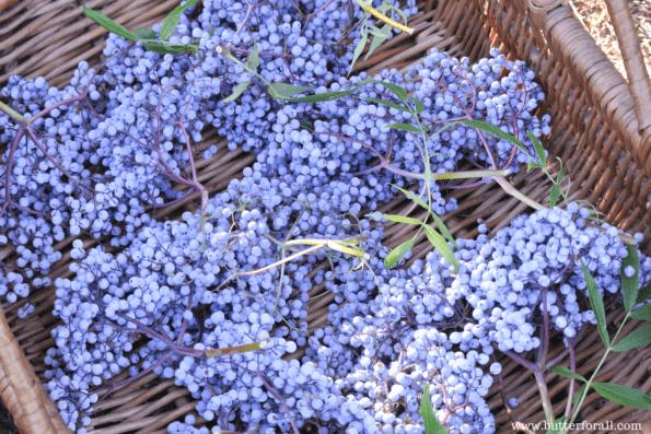 Harvesting elderberry clusters.